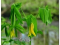 Wild Oats (Sessile Bellwort) (628621)