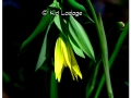 sessile-bellwort-wild-oats-431534