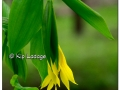 sessile-bellwort-wild-oats-at-ingawanis-woodlands-434665