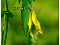 wild-oats-sessile-bellwort-257497