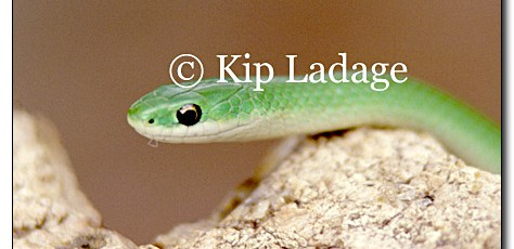 Smooth Green Snake - Image 14938