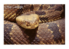 Timber Rattlesnake - Image 4364