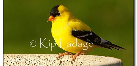 American Goldfinch - Image 31484