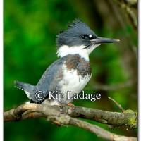 Belted Kingfisher - Image 214954