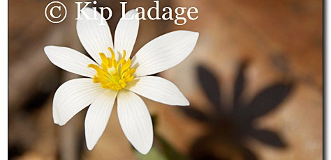 Bloodroot - Image 53770