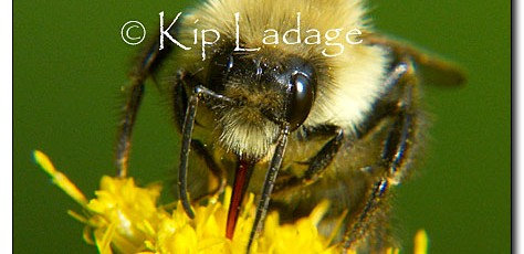 Bumblebee on Goldenrod - Image 39192
