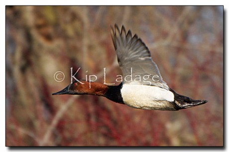 Canvasback in Flight - Image 28512