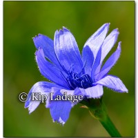Chickory - Image 226293