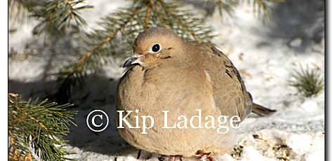 Mourning Dove - Image 42891