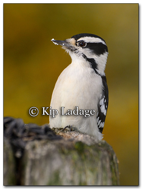 Downy Woodpecker (230108)
