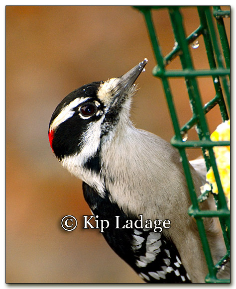 Downy Woodpecker (231081)