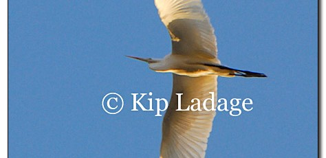 Great Egret - Image 111905
