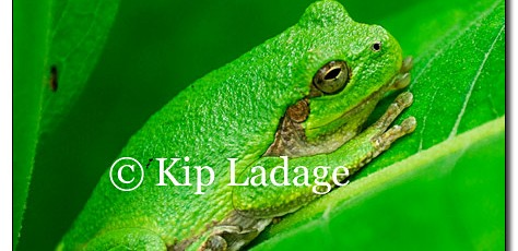 Gray Tree Frog - Image 124956