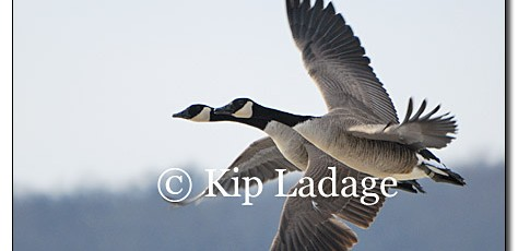 Canada Geese in Flight - Image 106268