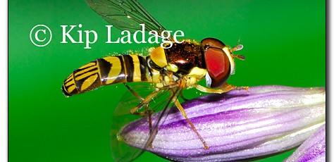 Hoverfly - Image 140014