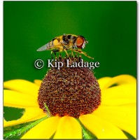 Hoverfly on Black-eyed Susan - Image 216633
