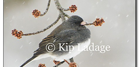 Dark-eyed Junco - Slate Race - Image 43193