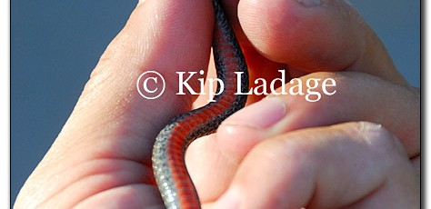 Northern Redbelly Snake - Image 140808