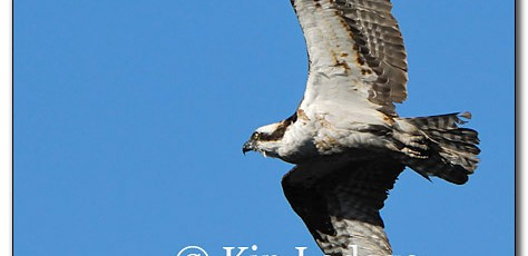Osprey With Fish - Image 179232