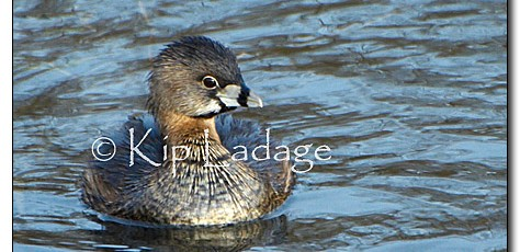 Pied-billed Grebe - Image 29506