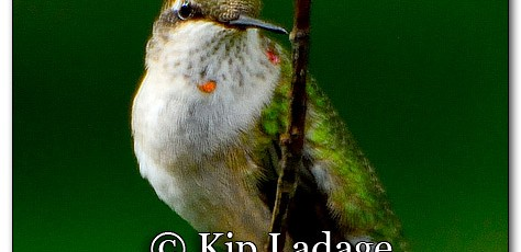 Ruby-throated Hummingbird - Image 225757