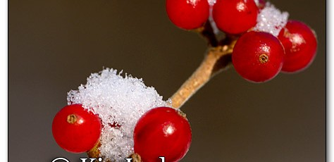 Snow on Red Berries - Image 231556