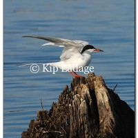 Forster's Tern - Image 114303