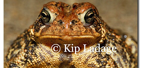 American Toad - Image 94124