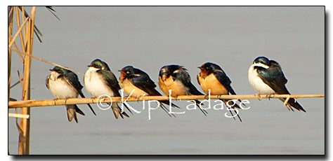 Tree Swallows and Barn Swallows - Image 31390
