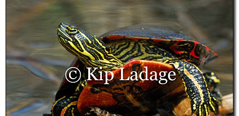 Painted Turtle - Image 112149