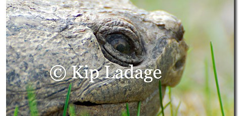 Snapping Turtle - Image 75994