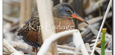 Virginia Rail - Image 32323