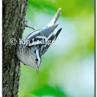Black and White Warbler - Image 175622