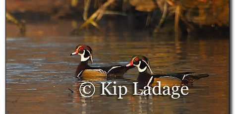 Wood Ducks - Image 181302