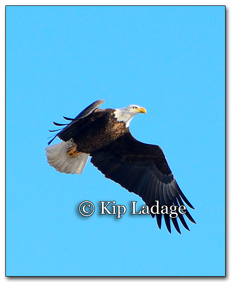 Adult Bald Eagle in Flight - Image 233592
