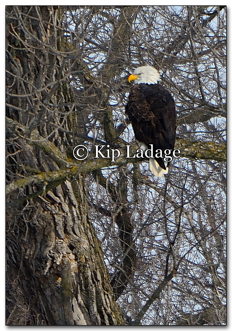 Adult Bald Eagle in Tree - Image 233069