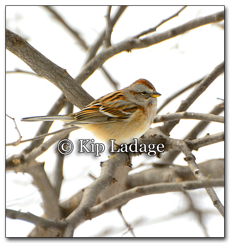 American Tree Sparrow - Image 234229