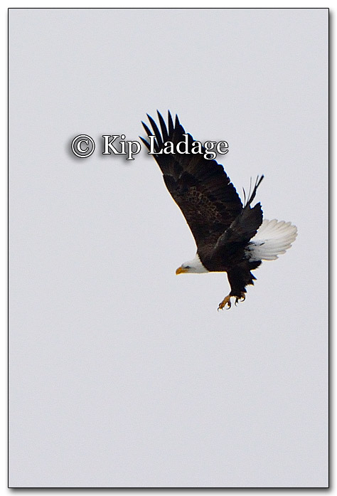 Bald Eagle in Flight - Image 233860