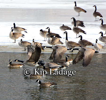 Canada Geese in Flight - Image 233757