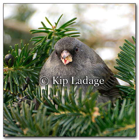 Dark-eyed Junco - Image 234450