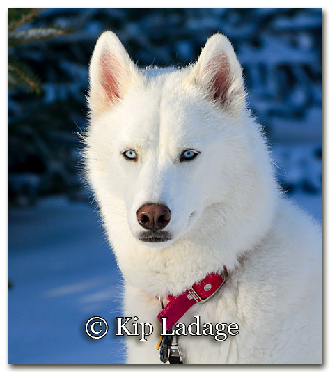 Husky in Snow - Image 234039