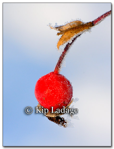 Frost on Rose Hip - Image 234256