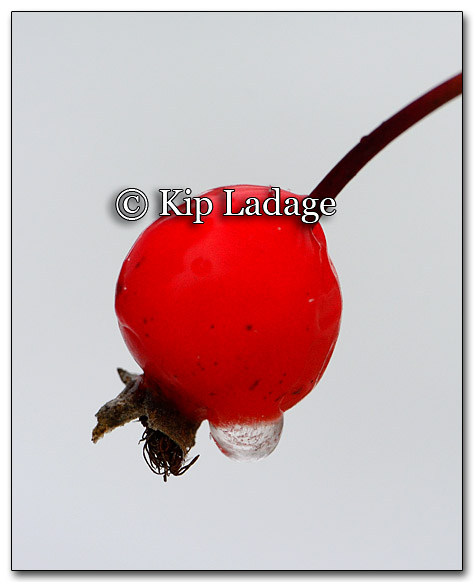 Frozen Water Drop on Rose Hip - Image 233851