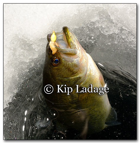 Largemouth Bass Through The Ice - Image 234309