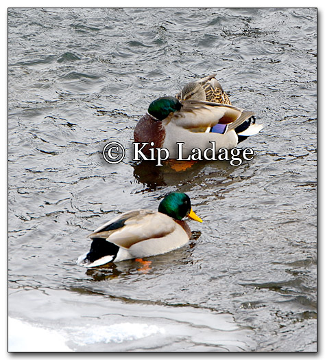 Mallards on Ice - Image 232628