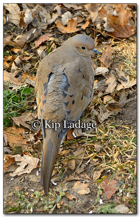 Mourning Dove - Image 232392