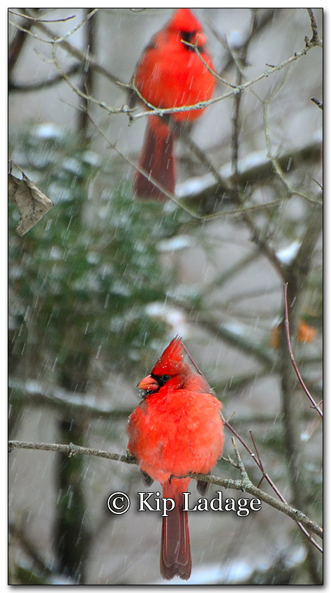Northern Cardinal in Snow - Image 232531