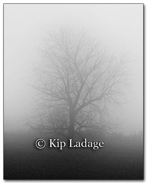 Oak Tree in Fog - Image 232347