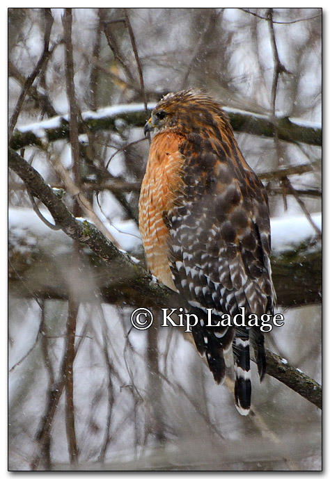 Red-shouldered Hawk in Snow - Image 232582