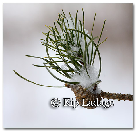 Snow on Pine Needles - Image 234484